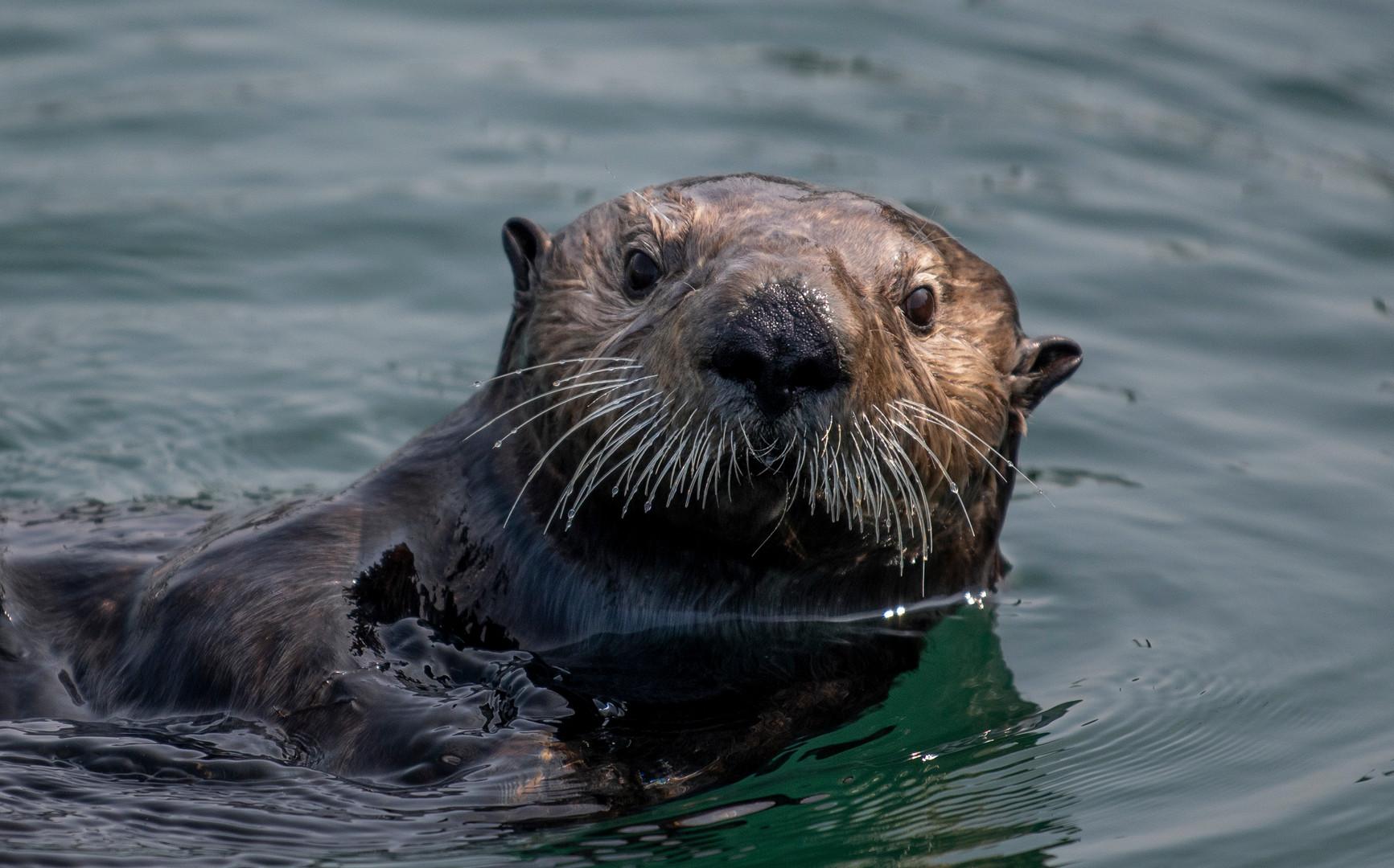 An otter in the Cordova Harbor.
