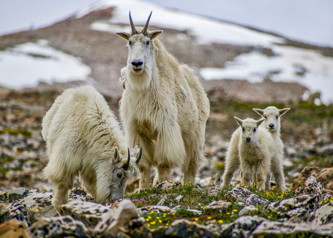 Mountain goats on Quandry Peak in Colorado, 2018.