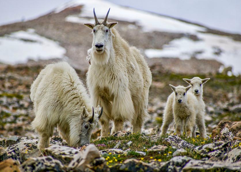 Mountain goats on Quandry Peak in Colorado, 2018.