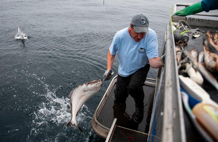 Steve Ranney pulls a halibut onto the bo