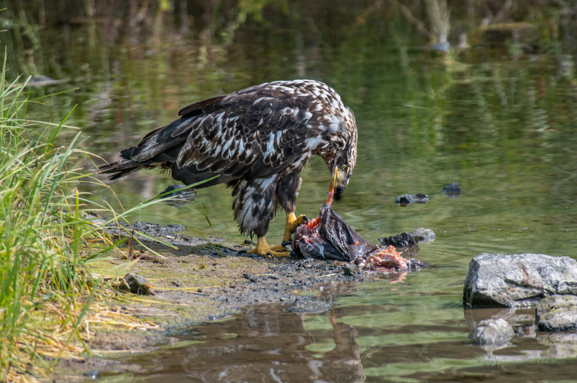 A young eagle eating salmon.