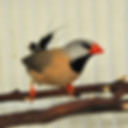 Shaft Tail Finch_edited.jpg