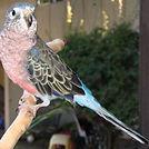 bourke parakeet.jpg