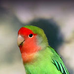 Peach-Faced-Lovebird-300x300.jpg