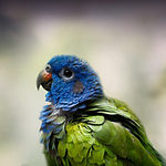 blue head pionus.jpg