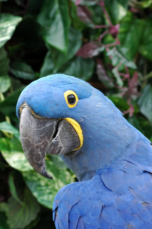 DB-64_Hyacinth_Macaw.62131818_large.jpg