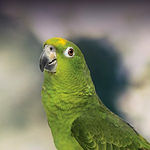 Yellow-Naped-Amazon-Parrot-300x300.jpg