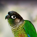 green cheek conure.jpg