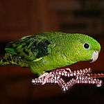 lineolated parakeet.jpg
