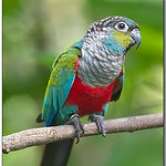 crimson bellied conure.jpg
