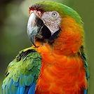 catalina macaw.jpg