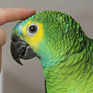 blue-fronted-amazon-2.jpg