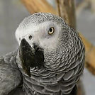 timeh african grey.jpg