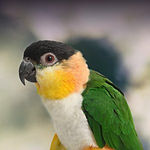 black head caique.jpg