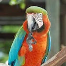harlequin macaw.jpg