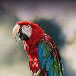 greenwing macaw.jpg