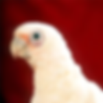 bare eyed cockatoo.png