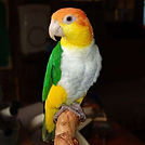 white bellied caique.jpg