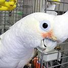 goffin cockatoo.jpg