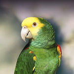 double yellow head amazon.jpg