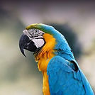 blue and gold macaw.jpg