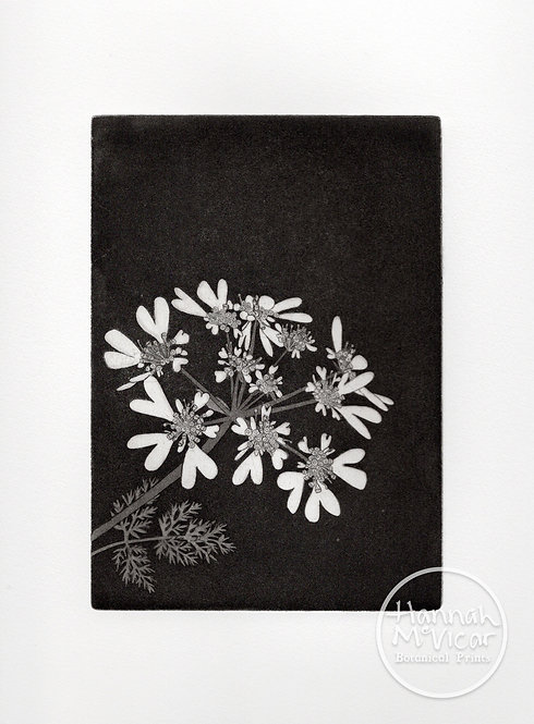 'Orlaya Grandiflora'  aquatint