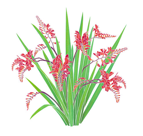 Botanical illustrations for BBC2's Big Dreams Small Spaces TV Show