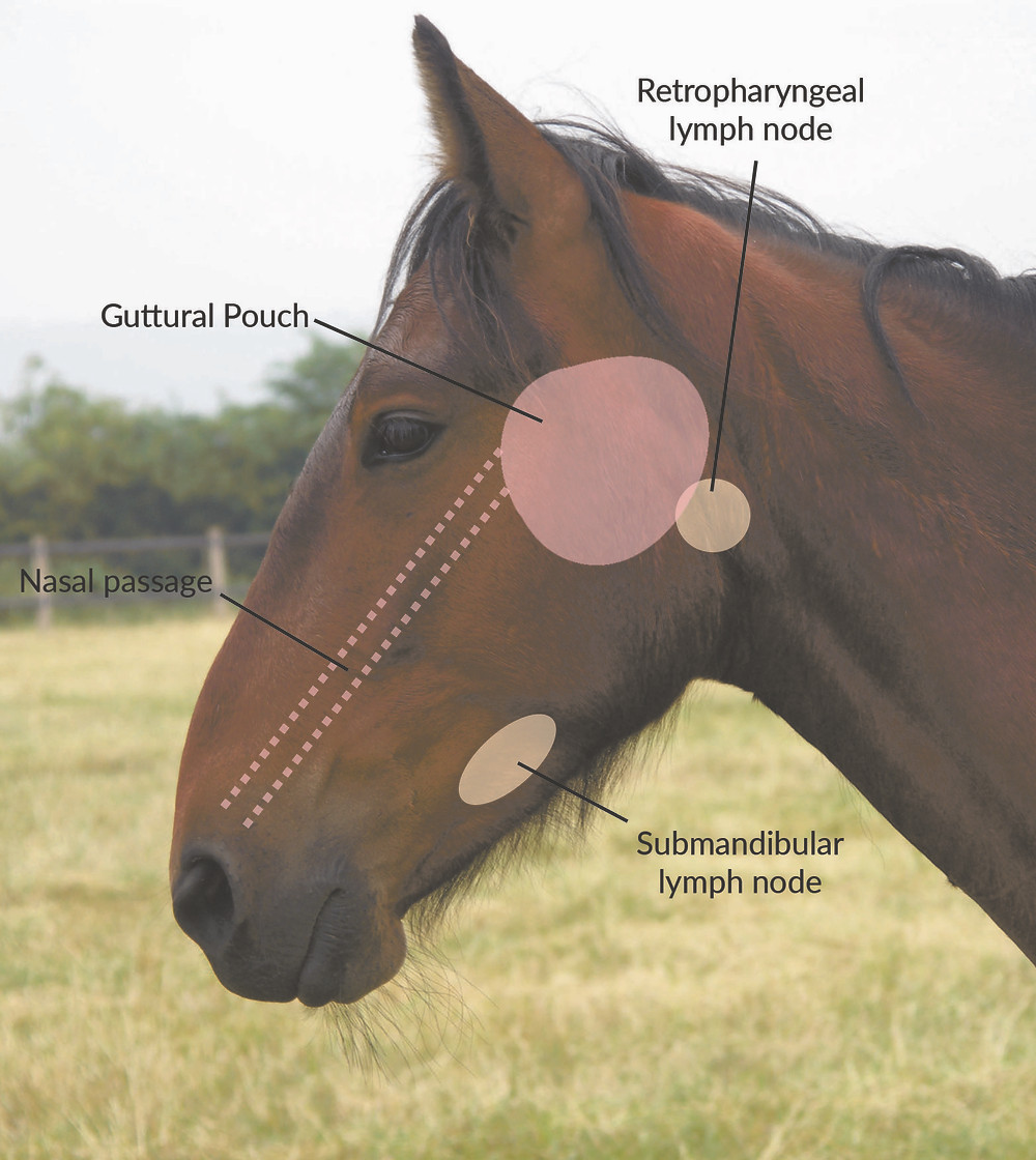 strangles in horses, guttural pouch, the horse hub