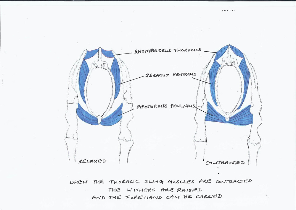 Lazy horse, thoracic sling, how to create impulsion in a lazy horse, the horse hub