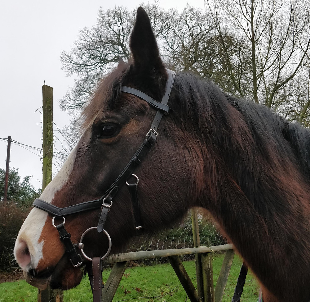 Hyoid, TMJ, tmj joint, how to fit a bridle, broadband too tight, anatomical bridle, what is the best bridle for my horse?, noseband pressure, hyoid apparatus, integrates bridle