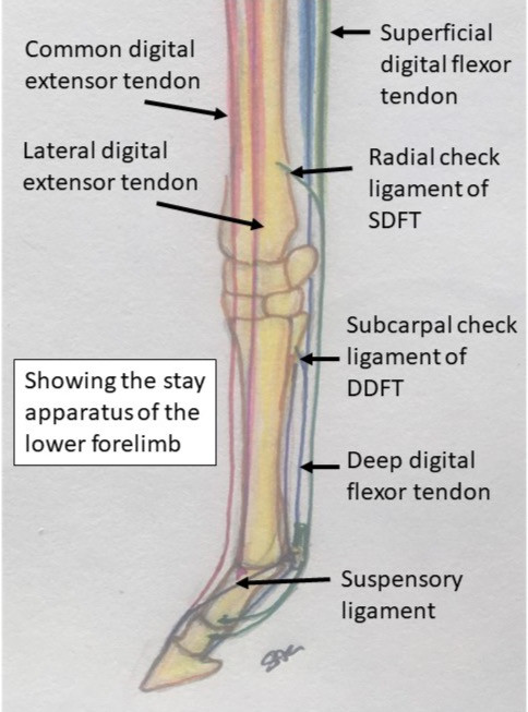 DDFT, SDFT, young horses, growth plates, lameness, sounds, suspensory apparatus, equine conformation, equine anatomy, DJD, degenerative joint disease, The horse hub