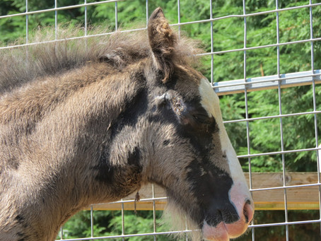 Strangles in horses - what happens?