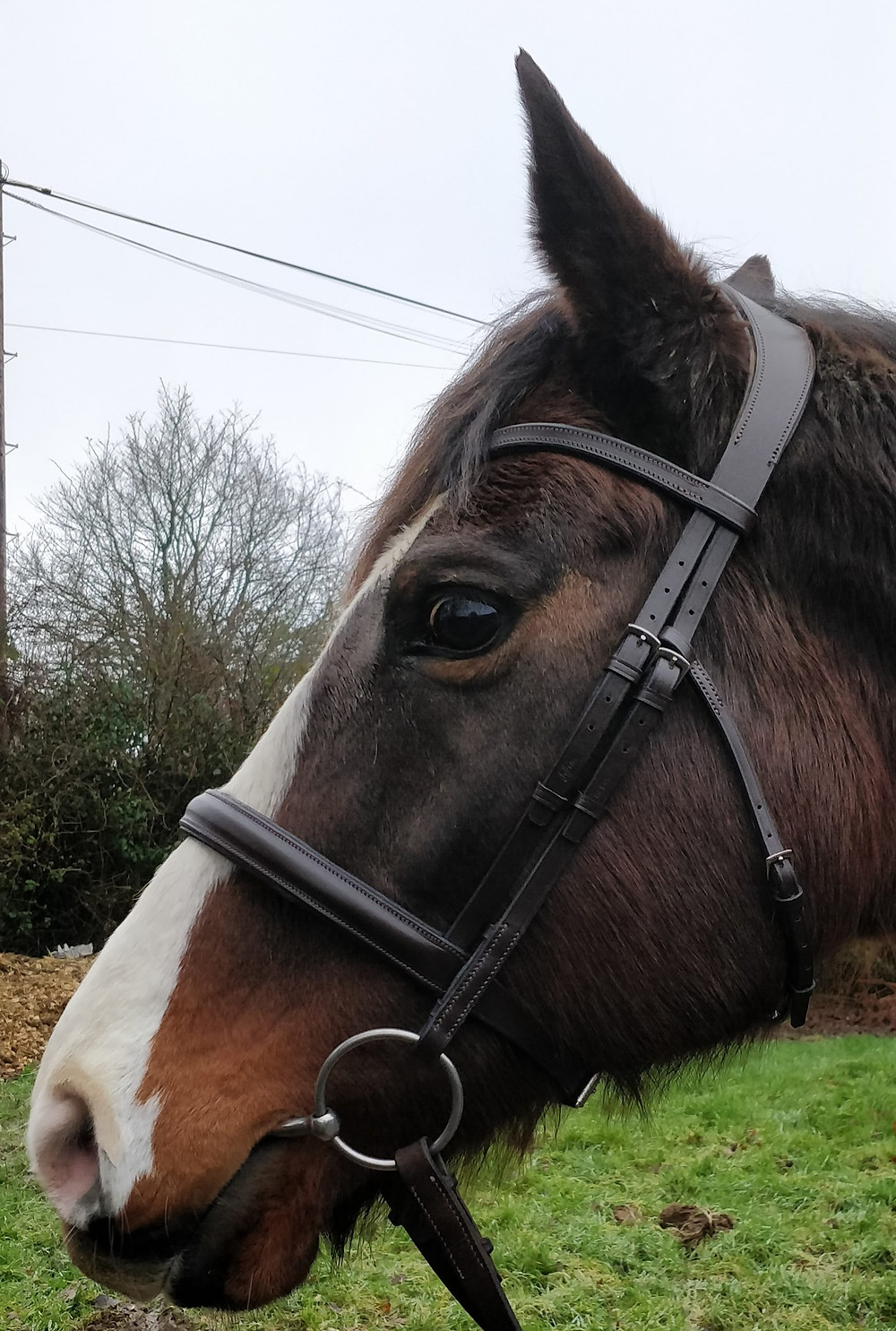 Hyoid, TMJ, tmj joint ,how to fit a bridle, broadband too tight, anatomical bridle, what is the best bridle for my horse?, noseband pressure, hyoid apparatus, integrates bridle