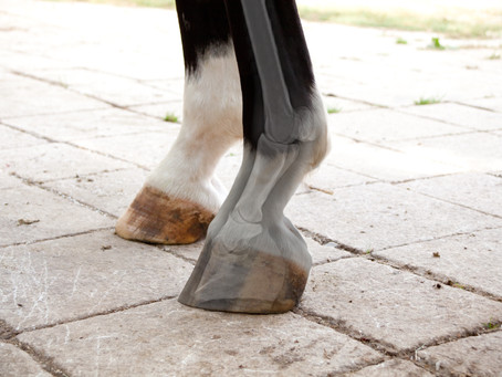 The fetlock joint – an overview of equine anatomy