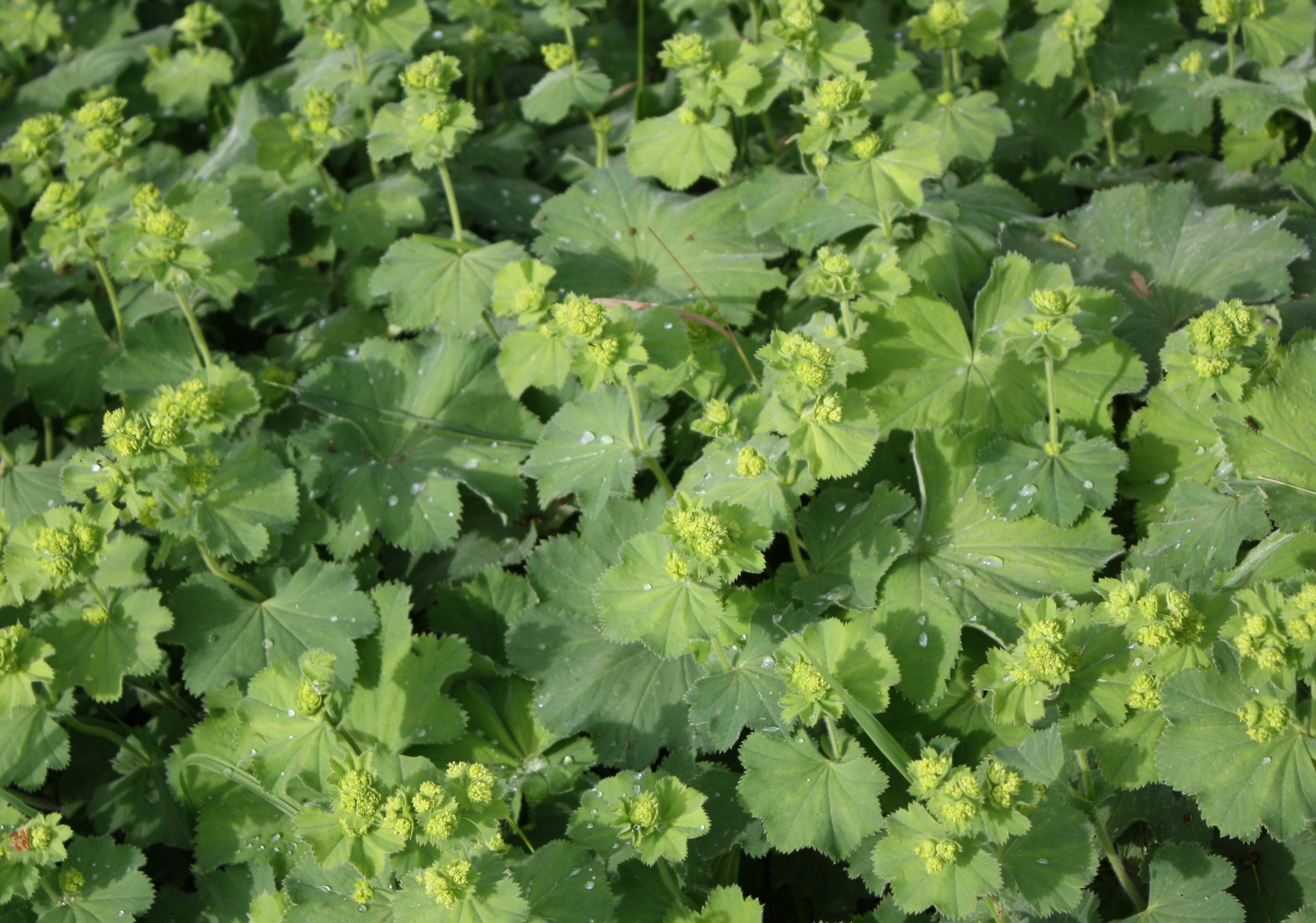 Our Lady's Mantle.jpg