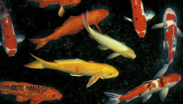 koi fishes in the pond.jpg