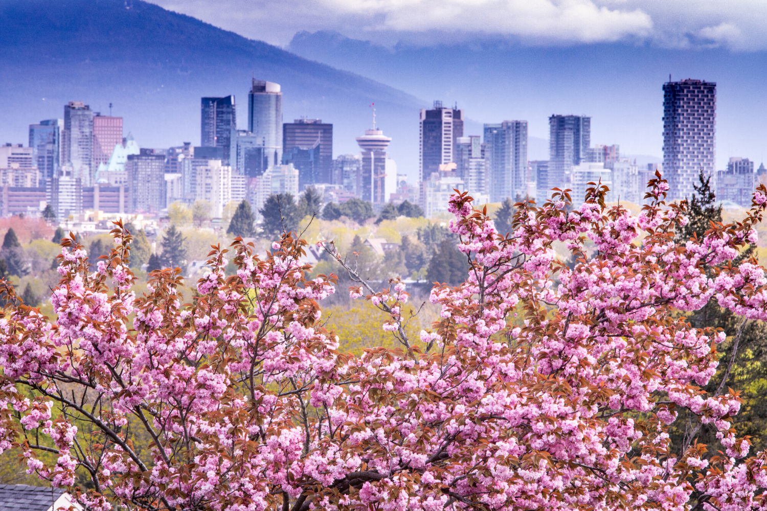 Cloudy mountains and city skyline over cherry blossom canopy.