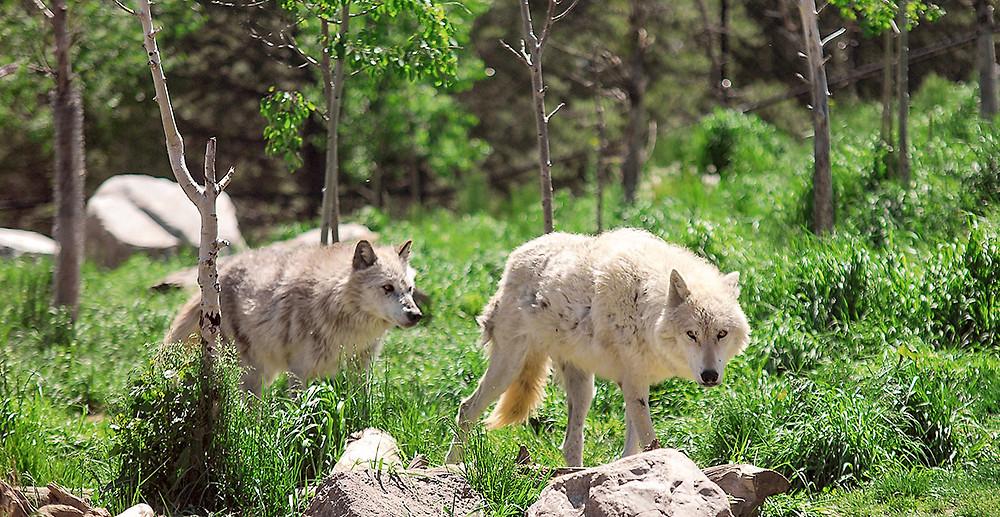 TTE33_TRAF_shutterstock_wolves