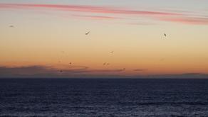 Suivi des albatros à bec jaune à Entrecasteaux