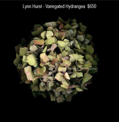 Lynn Hurst - Variegated Hydrangea  $650