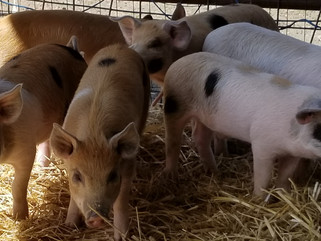 The Oxford Pigs