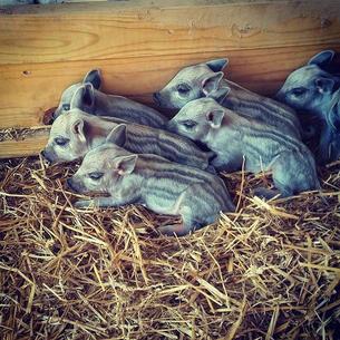 Brand new mangalitsa babies