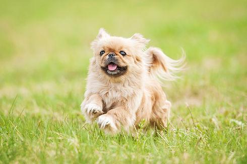 Pekingese dog running in summer.jpg