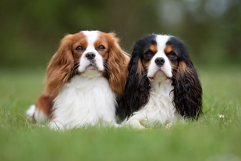 Two purebred Cavalier King Charles Spani