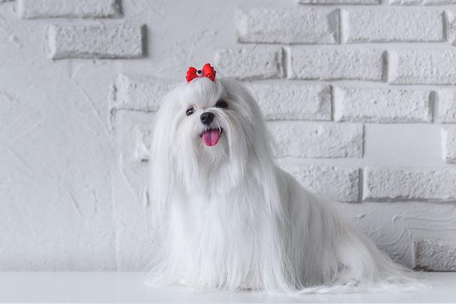 maltese dog.jpg