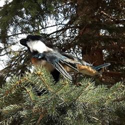 Chickadee raptor