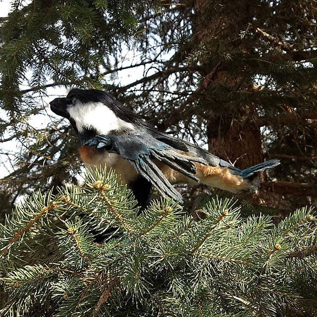 The elusive chickadee raptor. Vote on th