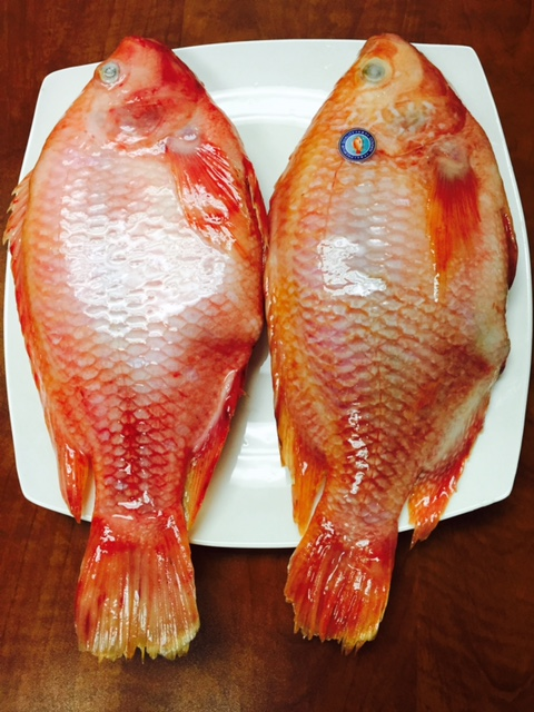 EXCLUSIVE RED TILAPIA