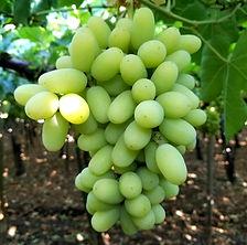 Arra 15 Grape