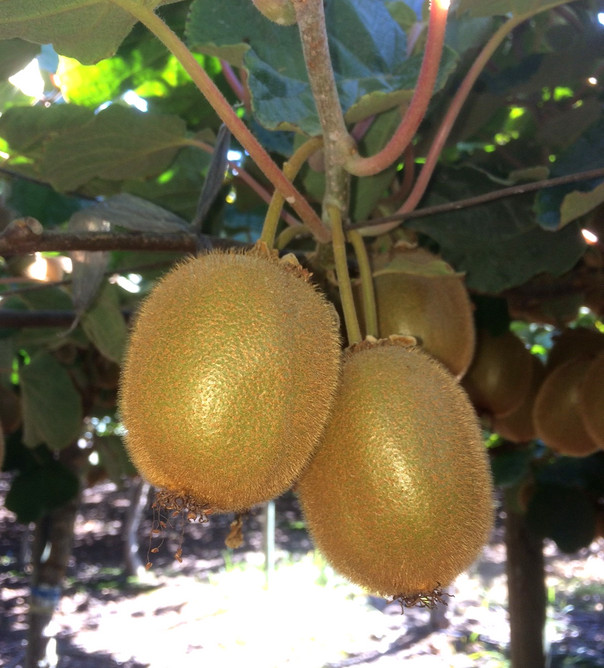 YELLOW DORI KIWIFRUIT